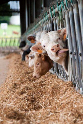 Les antibiotiques utilisés dans les élevages